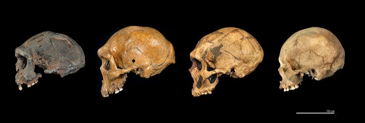 Skull comparison between Homo erectus, Homo heidelbergensis, Homo neanderthalensis and Homo sapiens, respectively from left to right. Credit: NHM