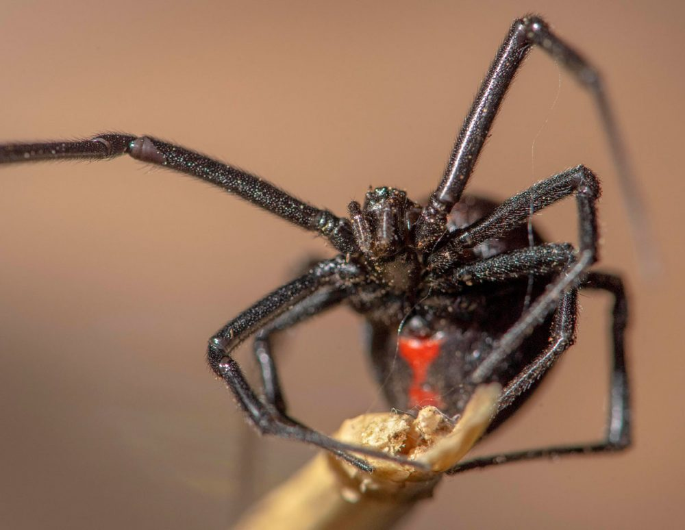 Close up shot of the Black Widow. Source: Robin Loznak Photography