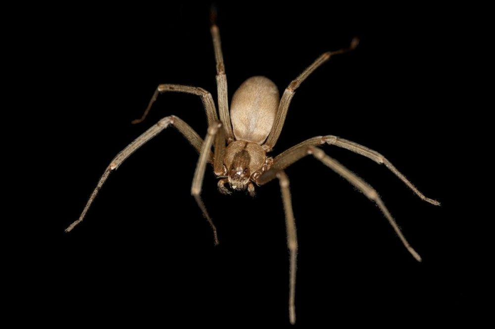 The Brown Recluse Spider. Source: Wikimedia Commons