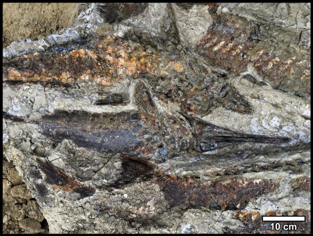 The petrified fish are stacked on top of each other. This suggests that they were washed ashore together, where they remained. This asteroid impact was deadly for most species on Earth, including dinosaurs. Credit: University of California, Berkeley