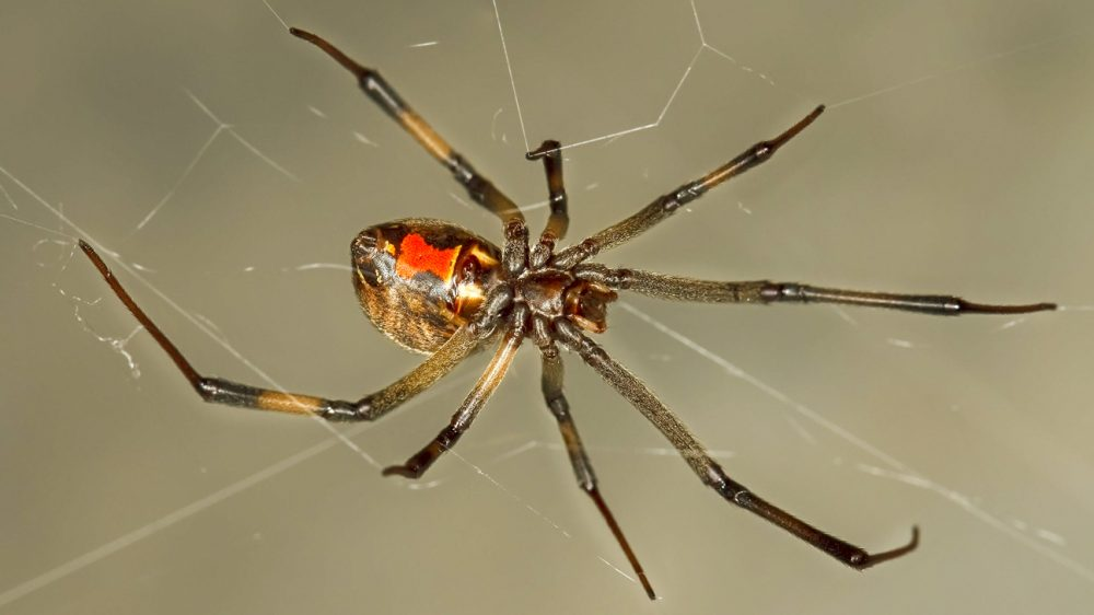 Brown Widow Spider. Source: Wikimedia Commons