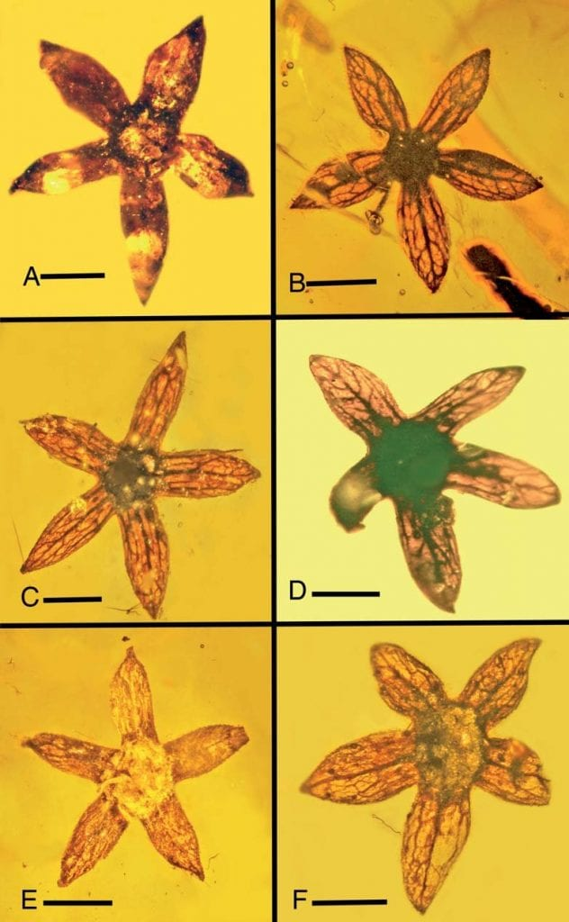 Tropidogyne pentaptera flowers discovered in amber in 2017. Credit: George O. Poinar, Jr. / Kenton L. Chambers