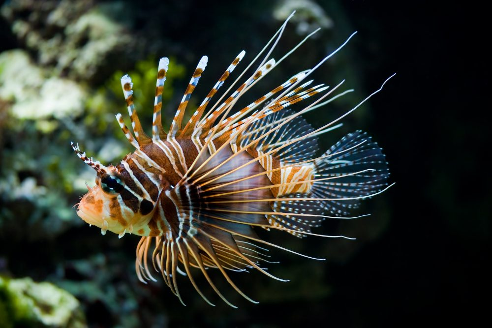The spotfin lionfish. Source: Wikimedia Commons