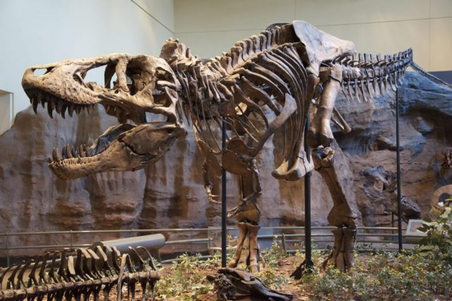 The Tyrannosaurus rex holotype specimen located in the Carnegie Museum of Natural History, Pittsburgh. This image was selected because there are major news in about this legendary dinosaur species in the following article. Credit: Wikimedia Commons