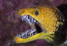 The Moray Eel. Source: Wikimedia Commons