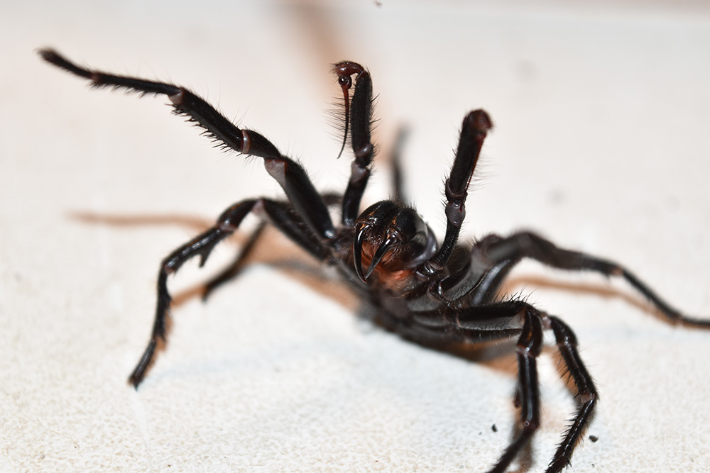 The Sydney-Funnel Web Spider. Source: Australian Geographic.