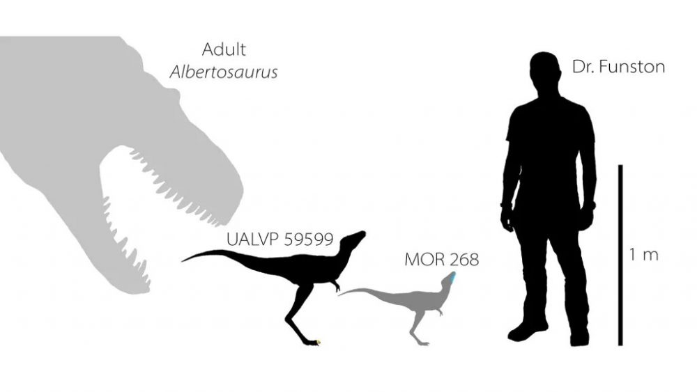 A curious comparison between a full-grown tyrannosaur on the left, the two specimens reconstructed from the dinosaur fossils, and lead researcher Gregory Funston. Credit: Gregory Funston 2020