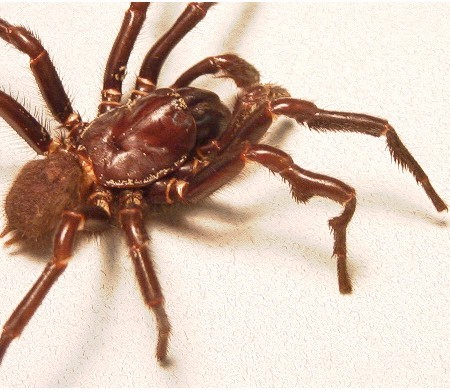 Tree-funnel Web Spider. Source: Wikimedia Commons