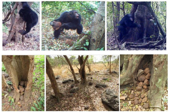 A compilation of images from the observations showing how the monkey throws stones and then the pile of rocks within the tree. Credit: Kühl et al [2016]