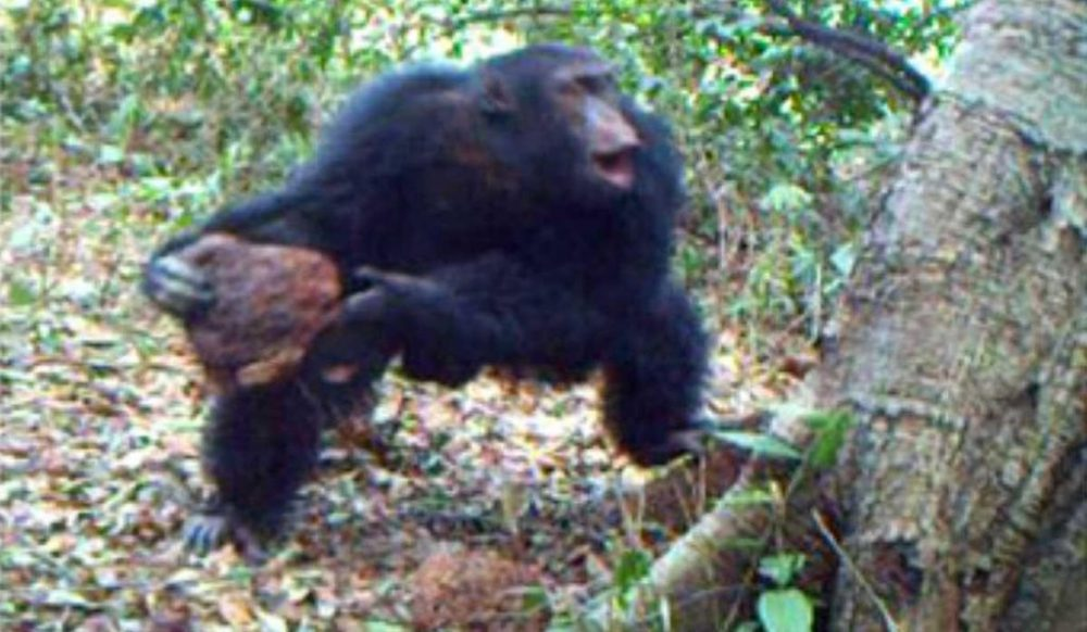 Real footage taken during the observations shows a male chimpanzee throwing a large rock at a tree. Scientists suggest that this could be some sort of a new ritual. Credit: MPI-EVA PanAf/Chimbo Foundation