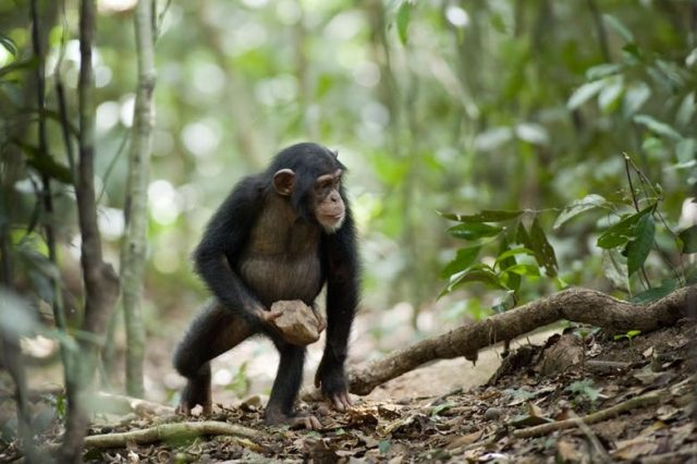Chimpanzees from different regions constantly show new types of behavior. Credit: Mark Linfield/Walt Disney Pictures, CC BY