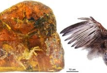 The piece of Burmese amber and a reconstruction of the bird whose remains were kept inside it. Credit: CHINESE ACADEMY OF SCIENCES