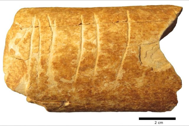The bone from an extinct species of cattle with intricate etchings believed to be at least 120,000 years old. Credit: Marion Prevost