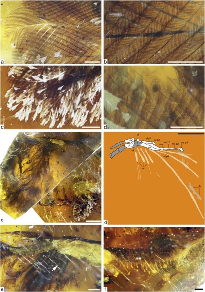 Close-up shots of the Burmese amber and the bird within. Credit: Royal Saskatchewan Museum/R.C. McKellar