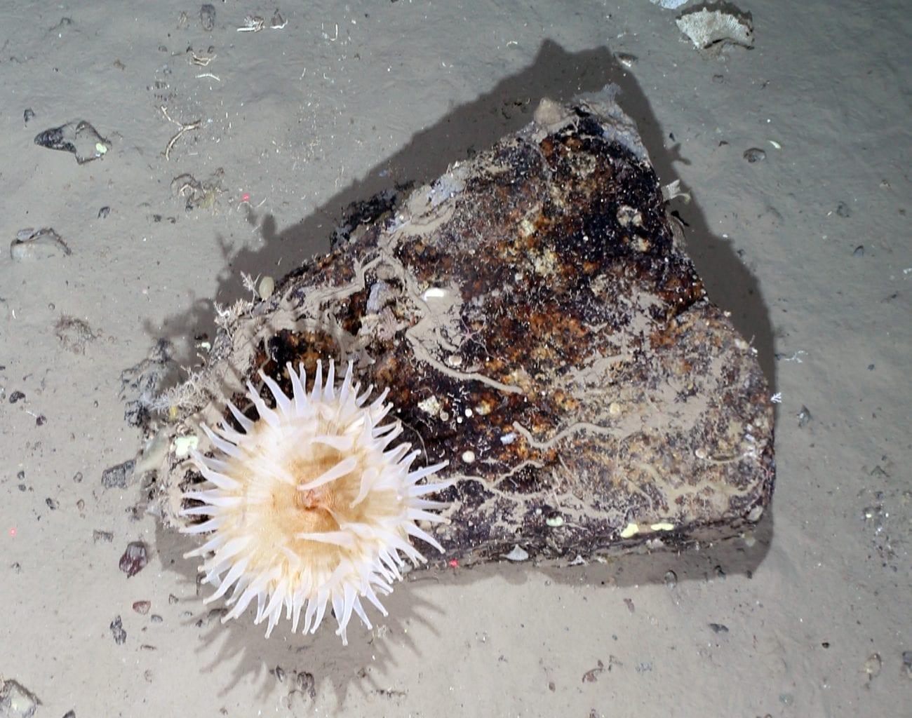 Sea anemones were among the most abundant species seen on the Antarctic Seafloor. Credit: Alfred Wegener Institute