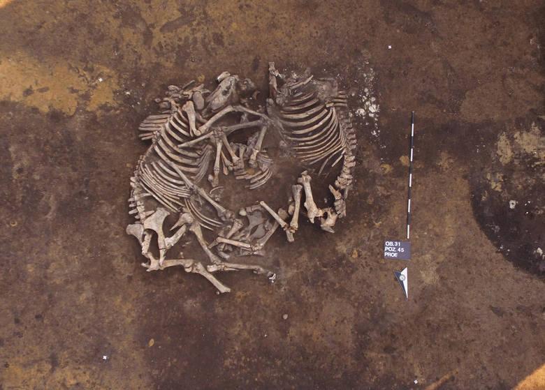Horse burials from the Trzciniec culture. Credit: J. Bulas