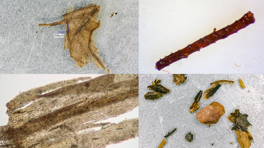 More examples of the discovered remnants of plants from Greenland's ice core. Credit: Dorothy Peteet, Columbia University/Andrew Christ/UVM)