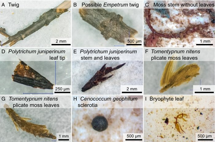 Scientists found various plant species in the frozen soil samples from under Greenland's ice cover. Credit: Dorothy Peteet, Columbia University/Andrew Christ/UVM)