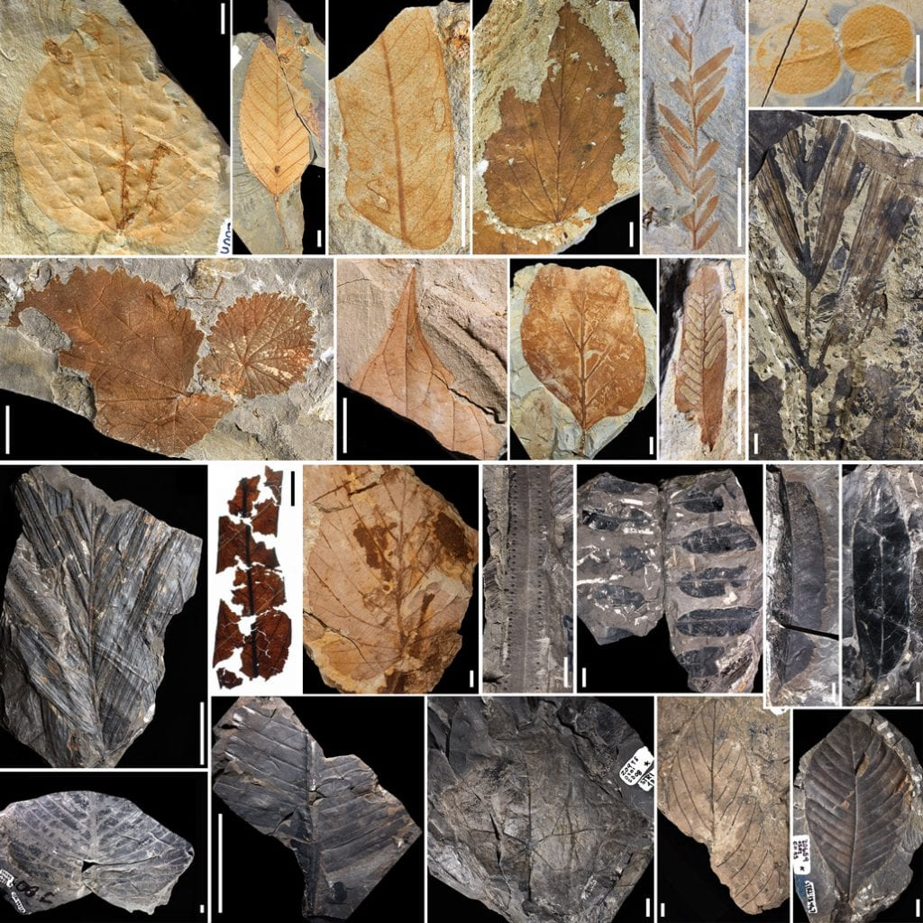 Fossils of leaves and pollen collected from several dozen locations in Columbia. Researchers found that the asteroid extinction event caused a complete change in the Amazon rainforests. Credit: Carvalho et al., Science 2021