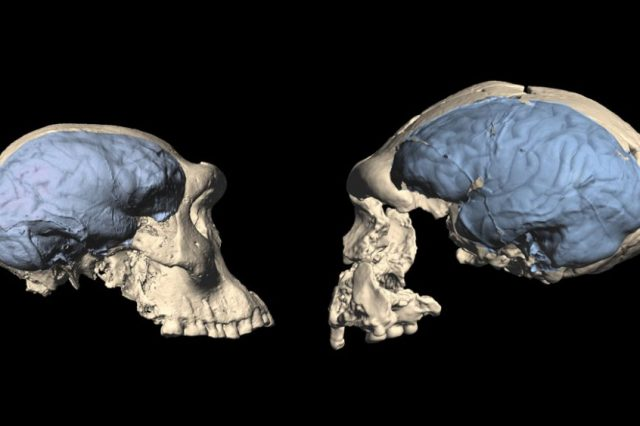 Scientists suggest that the human brain evolved much later in history than previously thought. On the left, you see the apelike brain of a specimen from the Dmanisi Hominins while on the right is the brain of an evolved human from about 1.5 million years ago. Credit: M.S. PONCE DE LEÓN AND C.P.E. ZOLLIKOFER/UNIVERSITY OF ZURICH