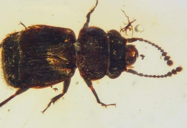 The newly discovered bettle from the new Pelretes vivificus species in a piece of 100-million-year-old Burmese amber. Credit: Chenyang Cai et al. / Nature Plants, 2021