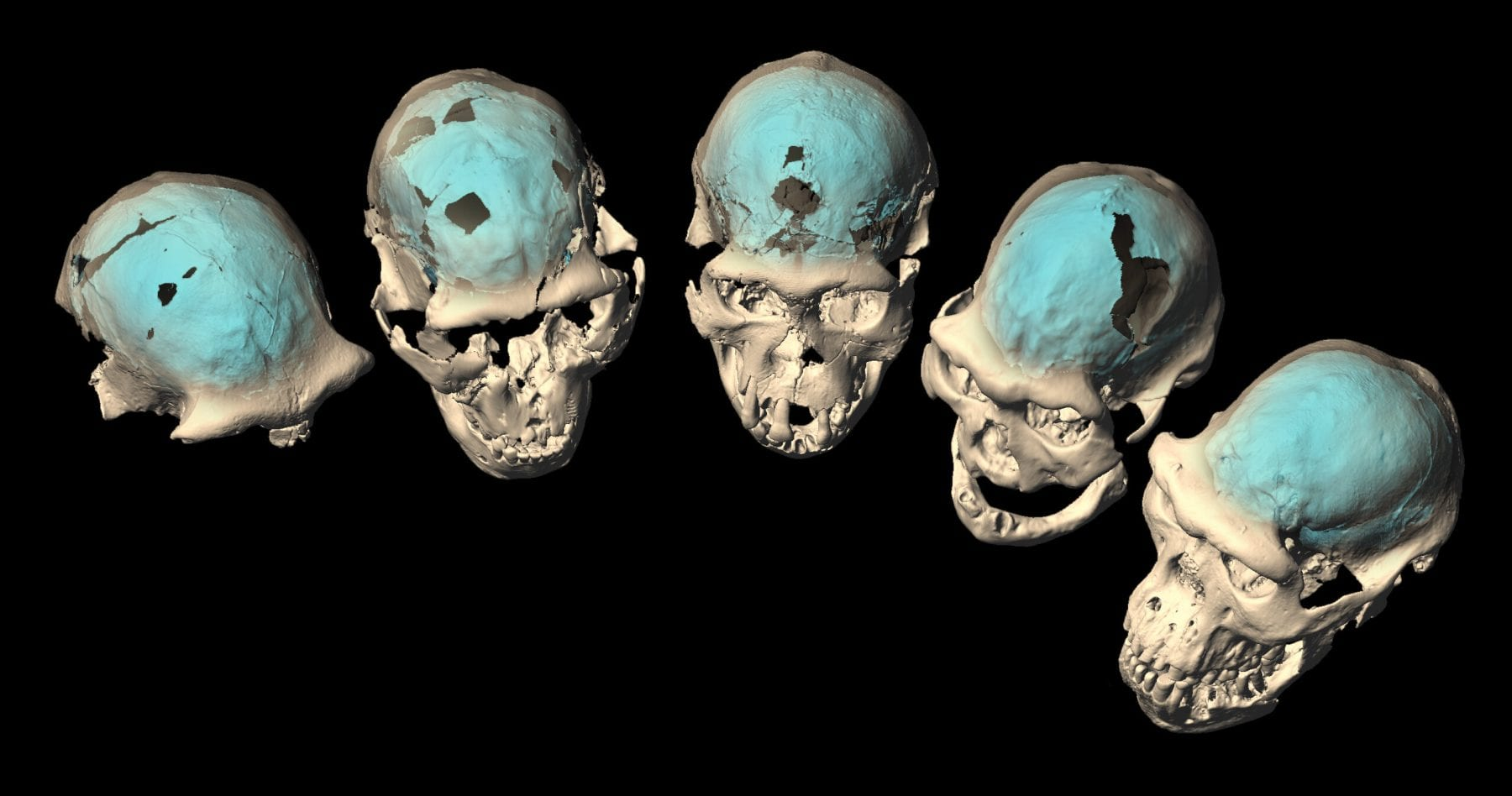 Computer tomography was used to create a virtual reconstruction of the endocasts of early Homo skulls from Dmanisi. Credit: M. Ponce de León and Ch. Zollikofer, University of Zurich