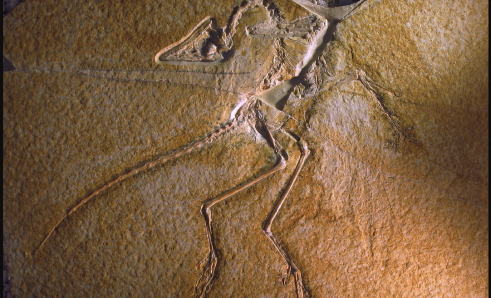 Archaeopteryx lithographica--its original fossil. Image Credit: Wikimedia Commons CC BY-SA 3.0.