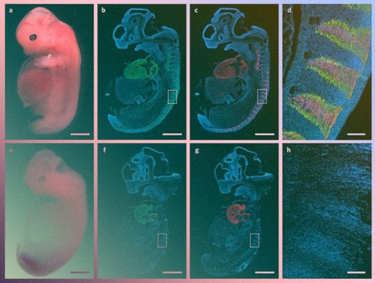 Scientists have successfully grown human muscle inside a pig embryo, thus creating a real-life human-pig chimera. Credit: Maeng et al. / Nature Biomedical Engineering, 2021