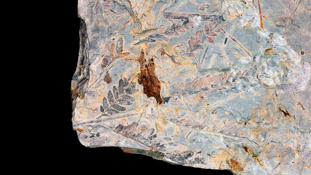 More ancient leaves from the time of the dinosaur-killing asteroid. Credit: Fabiany Herrera / Smithsonian Tropical Research Institute, Panama