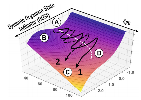 Age-related change model. A - stable state pool, B - barrier, C - unstable state pool. Black lines are life trajectories of two random people. White line (D) - barrier decline trajectory (aging). Credit: Pyrkov et al. / Nature Communications, 2021