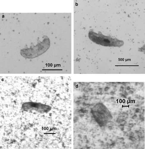 (a, b) Tardigrades before the experiment. The size of the tardigrades ranged from 150 to 850 micrometers. (c) Tardigrades recover after firing them at a speed of 728 meters per second. (e) A fragment of the tardigrade after being fired at a speed of 901 meters per second. Credit: Alejandra Traspas et. al. / Astrobiology