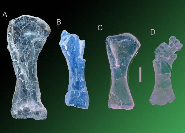 Comparison of the size of the humerus. A - new species Australotitan cooperensis , B - Wintonotitan wattsi , C - Diamantinasaurus matildae , D - Savannasaurus elliottorum. Credit: Hocknull et al. / PeerJ, 2021
