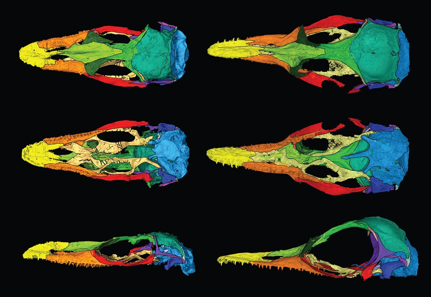 Digital isolation of each bone of both new species of lizard - O. naga on the left and O. khaungraae on the right. Credit: EDWARD STANLEY OF THE FLORIDA MUSEUM, ADAPTED FROM CURRENT BIOLOGY. CT SCANS FUNDED BY THE PERETTI MUSEUM FOUNDATION