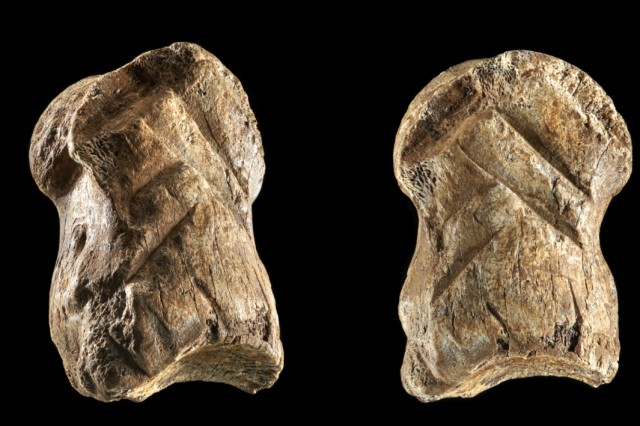 Somewhere around 51,000 years ago, Neanthertals carved geometric figures resembling chevrons into this giant deer toe. Credit: V. Minkus / NLD