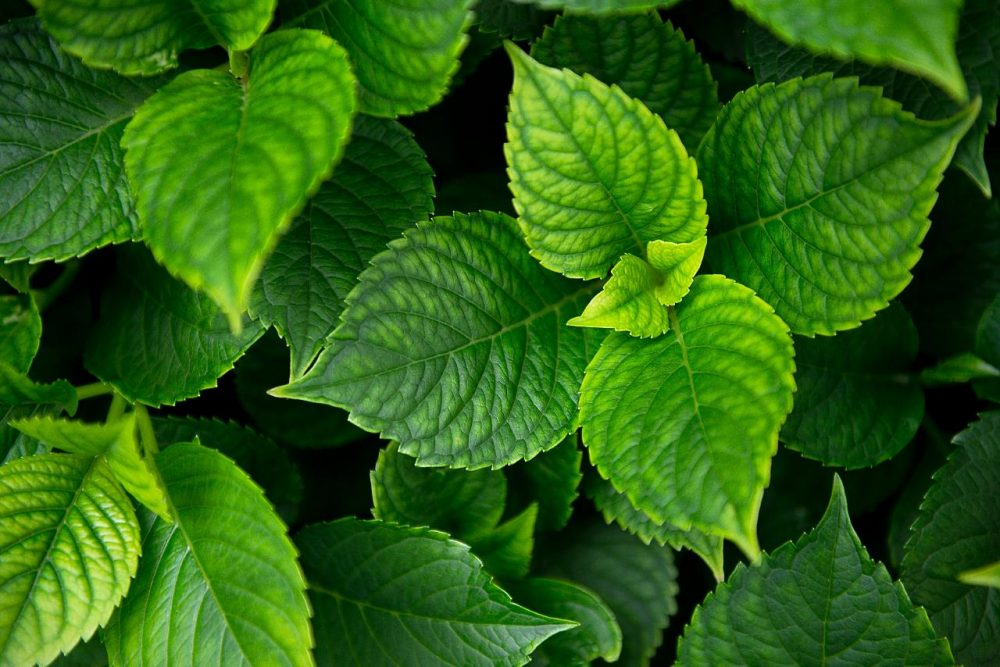 How often do you use mint in your daily life today? Credit: Jumpstory