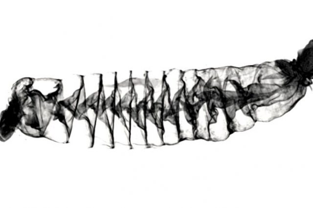 A CT scan image of the spiral intestine of a Pacific spiny dogfish shark which shows how shark intestines are similar to Tesla Valves. Credit: Samantha Leigh/California State University Dominguez Hills