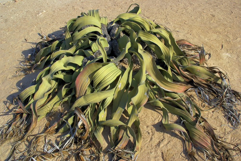 Geographical location and typical habitat of the Welwitschia plant. Credit: Tao Wan