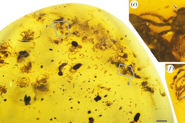 Scientists discovered the earliest evidence of spiders taking care of offspring in Burmese amber samples. Credit: Dong Ren et al. / Proceedings of the Royal Society B, 2021