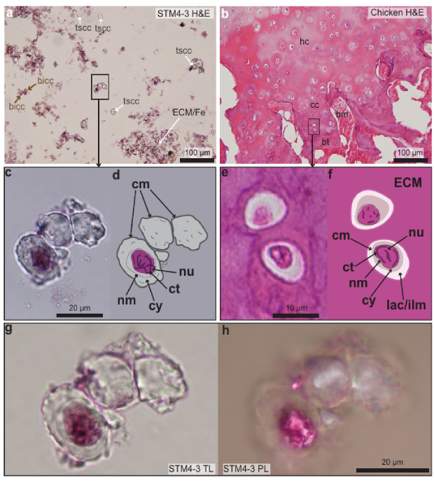 Chondrocytes of Caudipteryx (a, c, d, g, h) and chicken (b, e, f) stained with hematoxylin and eosin; h - in polarized light; nu - nucleus, ct - chromatin. Credit: Zheng et al. / Communications Biology, 2021