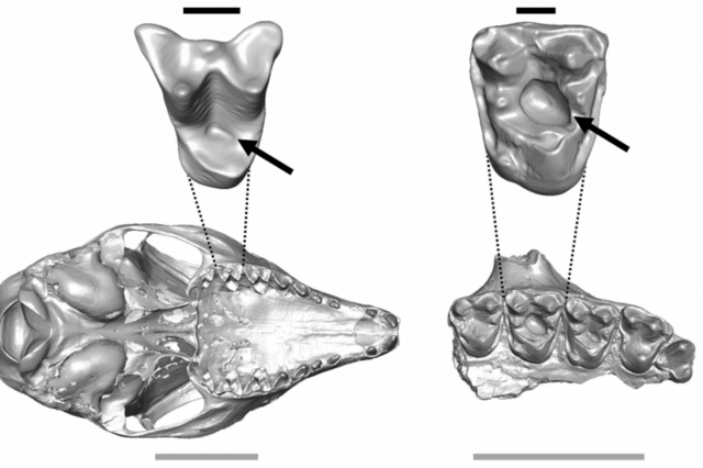 Scientists have found the oldest cavities in mammals, dated to approximately 54 million years ago. Credit: Keegan R. Selig & Mary T. Silcox / Scientific Reports, 2021
