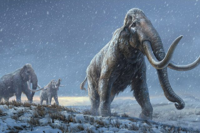 Scientists will attempt to resurect mammoths by combining genes with modern elephants. Credit: Beth Zaiken/Centre for Palaeogenetics