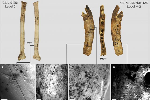 Fox bones with traces of notches found in the Contrebandiers Cave. Credit: Emily Hallett et al. / iScience, 2021