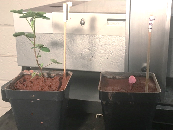 Here is the experiment that aims to find a way for colonizers to grow plants on Mars. Both plants were grown in artificial Martian soil - the left one was treated with nitrogen-fixing bacteria while the right one was not. Credit: Colorado State University