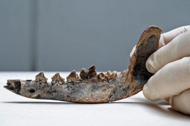 Researchers have found that this jaw fossil could be the oldest dog remains in Central America. Credit: Poyecto Xulo/AFP