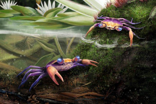 The Cretapsara athanata true crab as seen by the artist. Credit: Javier Luque et al. / Science Advances, 2021