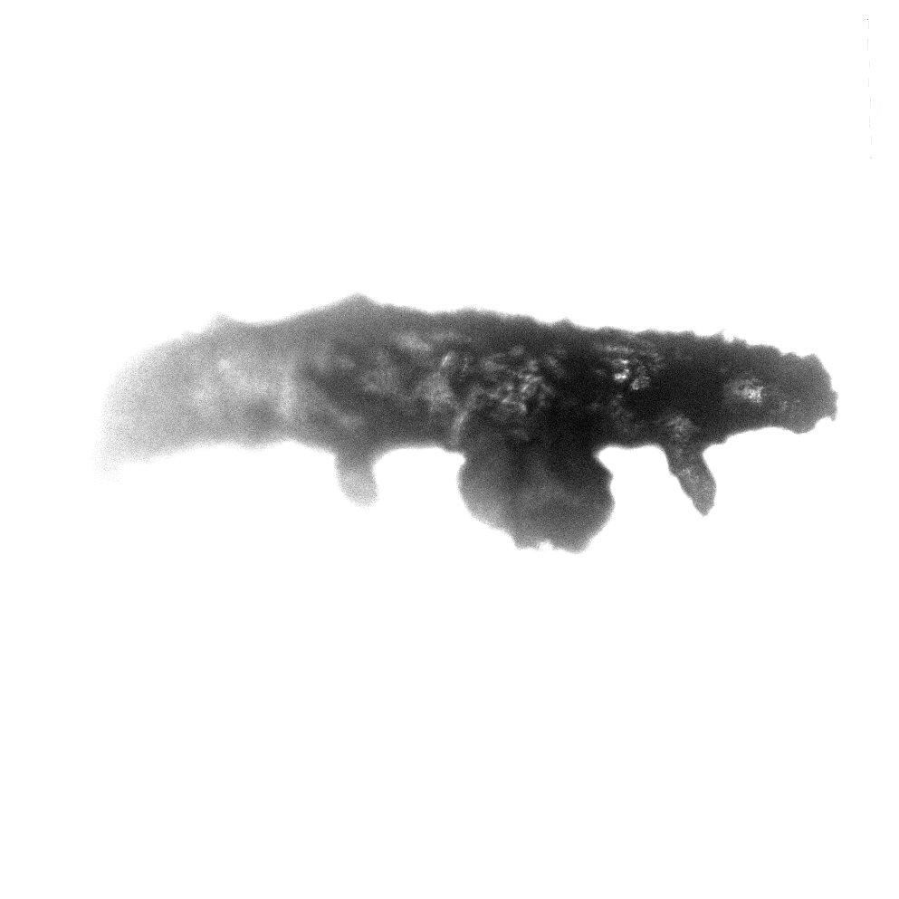 Side view of the tardigrade specimen. Credit: Phillip Barden