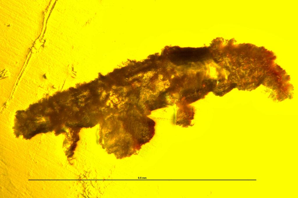 The tardigrade specimen under a stereomicroscope, side view. Credit: Ninon Robin