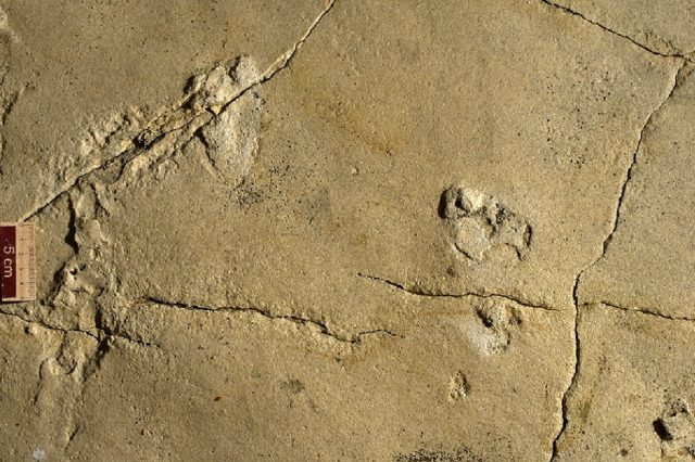 Photograph of two of the oldest footprints from a previous research. Credit: Ahlberg et al 2017